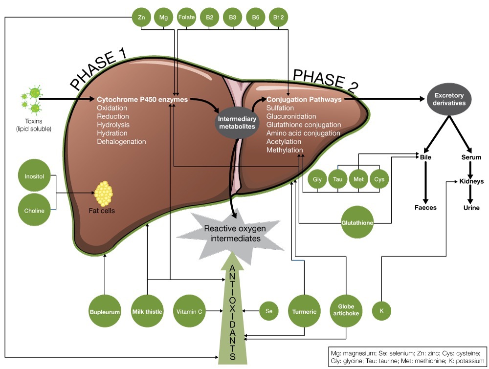 The basics of liver detoxification and the best natural remedies liver detoxdiagram ccuart Gallery